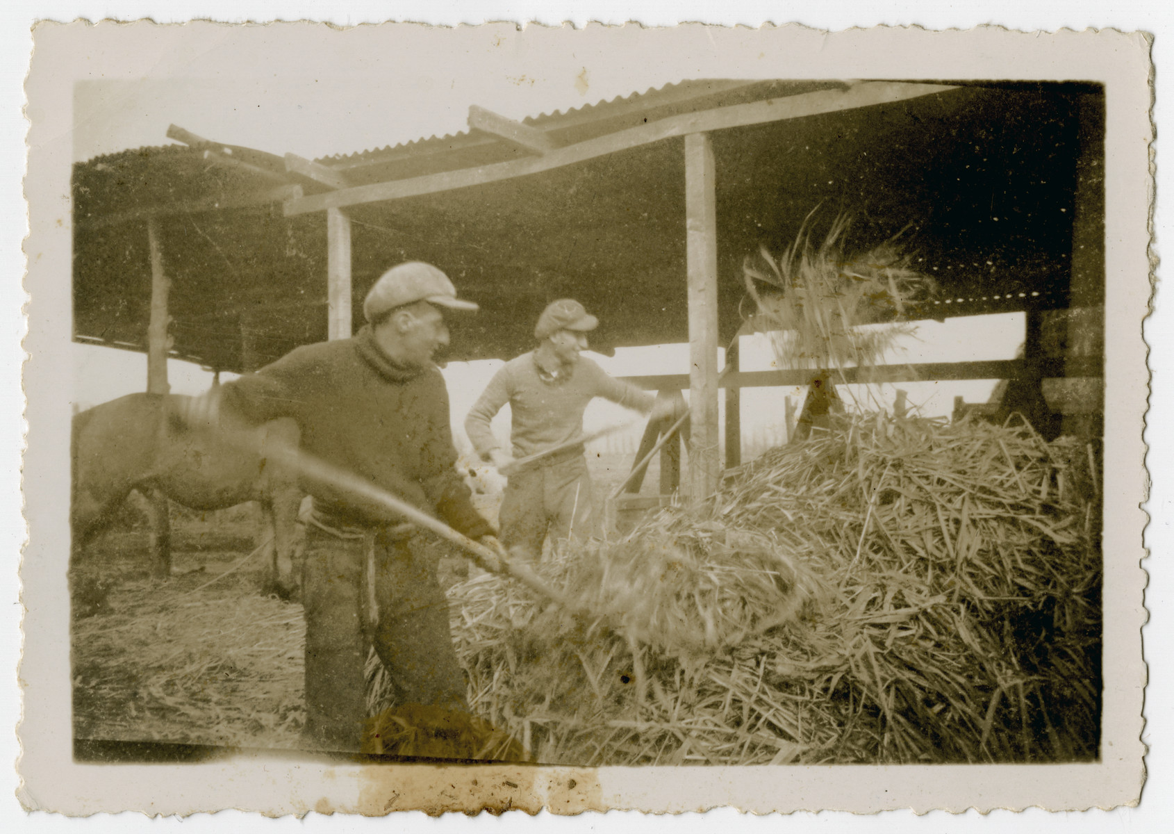 """Photograph from an album entitled, """"Hacshara Kidma Chile,""""  documenting life on a postwar Shomer Hatzair Zionist agricultural collective in Chile.  Two young men pitch hay for the horses.  The inscription on back (in German) reads, """"I am one of the two volunteers at work."""""""
