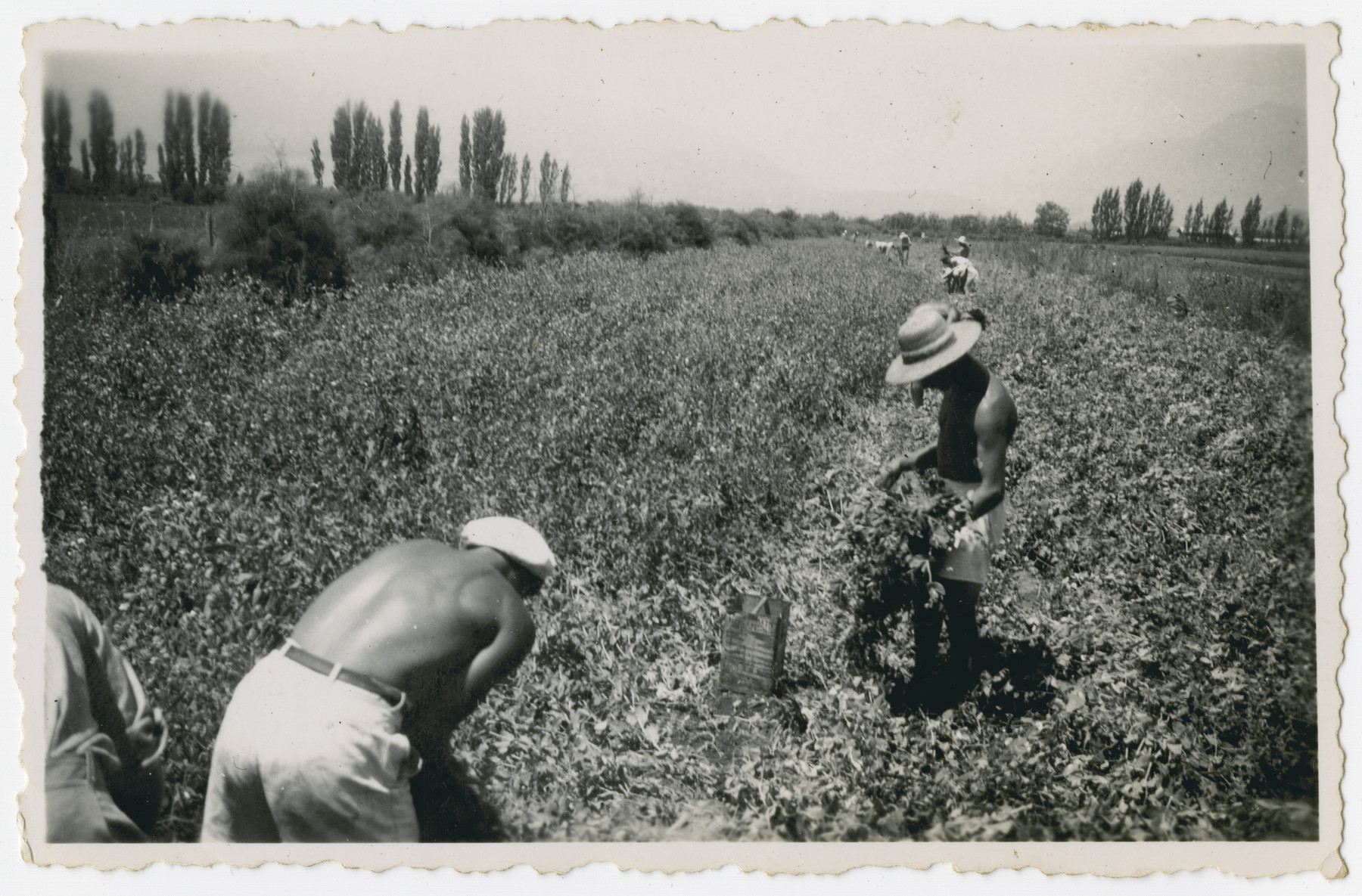 "Photograph from an album entitled, ""Hacshara Kidma Chile,""  documenting life on a postwar Shomer Hatzair Zionist agricultural collective in Chile.  Young men work in the fields.  The inscription on the back (in Spanish) reads, ""The bean harvest."""