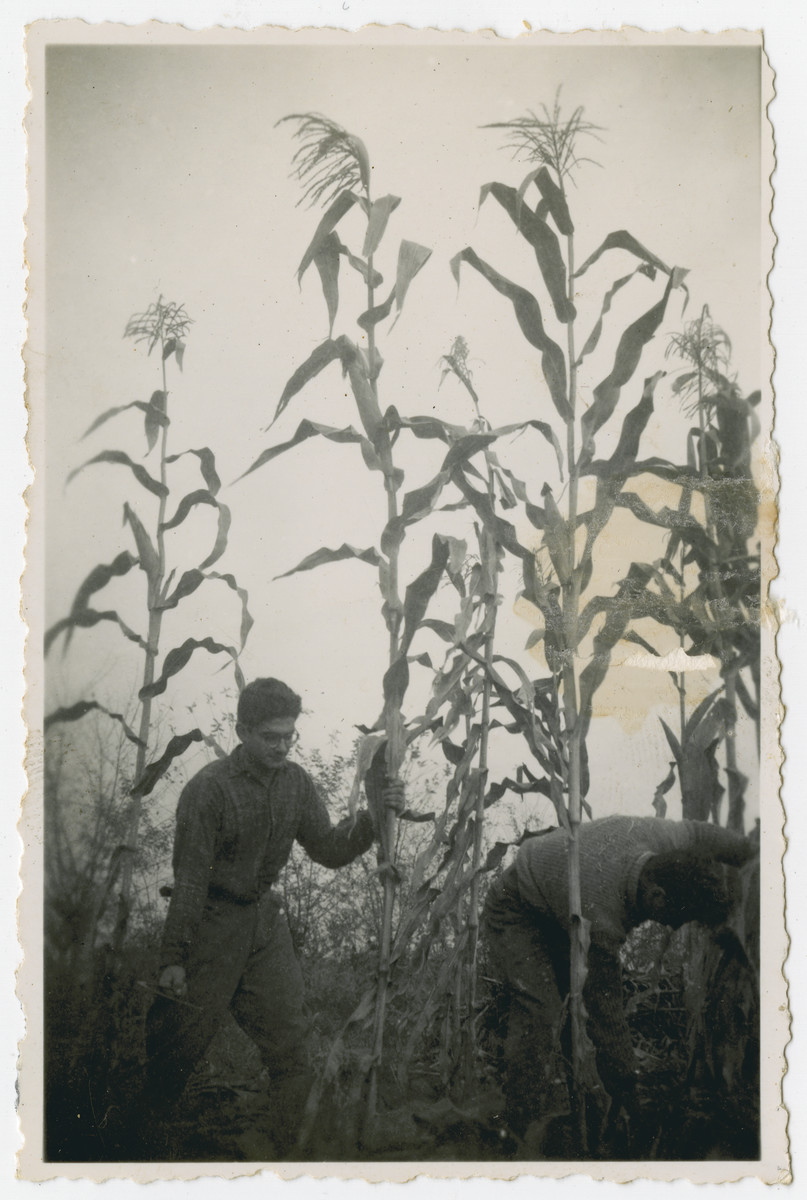 """Photograph from an album entitled, """"Hacshara Kidma Chile,""""  documenting life on a postwar Shomer Hatzair Zionist agricultural collective in Chile.  Young men work in the corn fields.  The inscription on the back reads, """"Ballu.""""   The inscription on the album page reads, """"Silage, 1946."""""""
