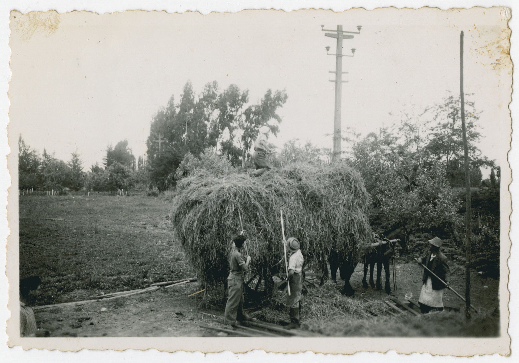 "Photograph from an album entitled, ""Hacshara Kidma Chile,""  documenting life on a postwar Shomer Hatzair Zionist agricultural collective in Chile.  Men load hay onto a horse-drawn wagon."