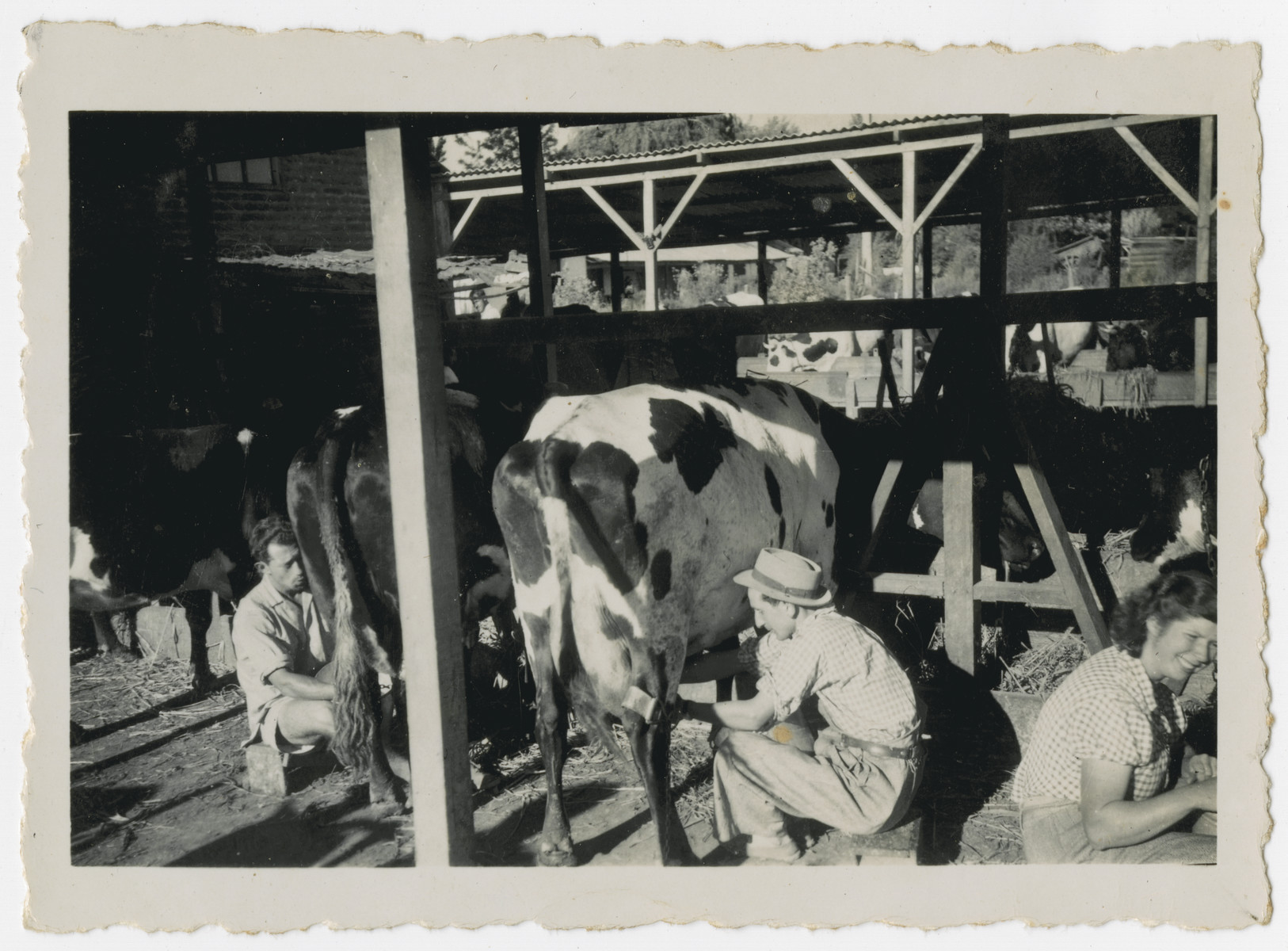 "Photograph from an album entitled, ""Hacshara Kidma Chile,""  documenting life on a postwar Shomer Hatzair Zionist agricultural collective in Chile.  Young people milk cows.  The inscription on the back reads, ""Ballu."""