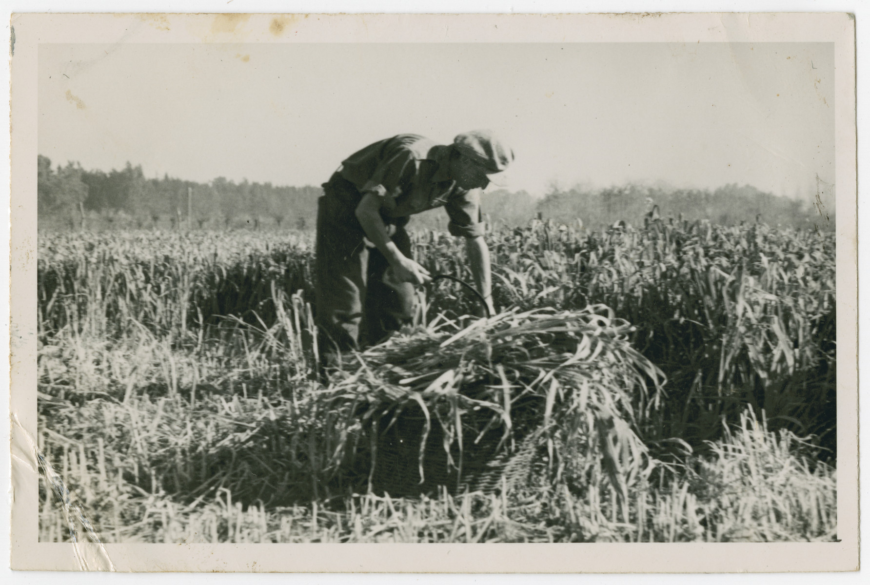 "Photograph from an album entitled, ""Hacshara Kidma Chile,""  documenting life on a postwar Shomer Hatzair Zionist agricultural collective in Chile.  A young man cuts hay with a hand scythe."