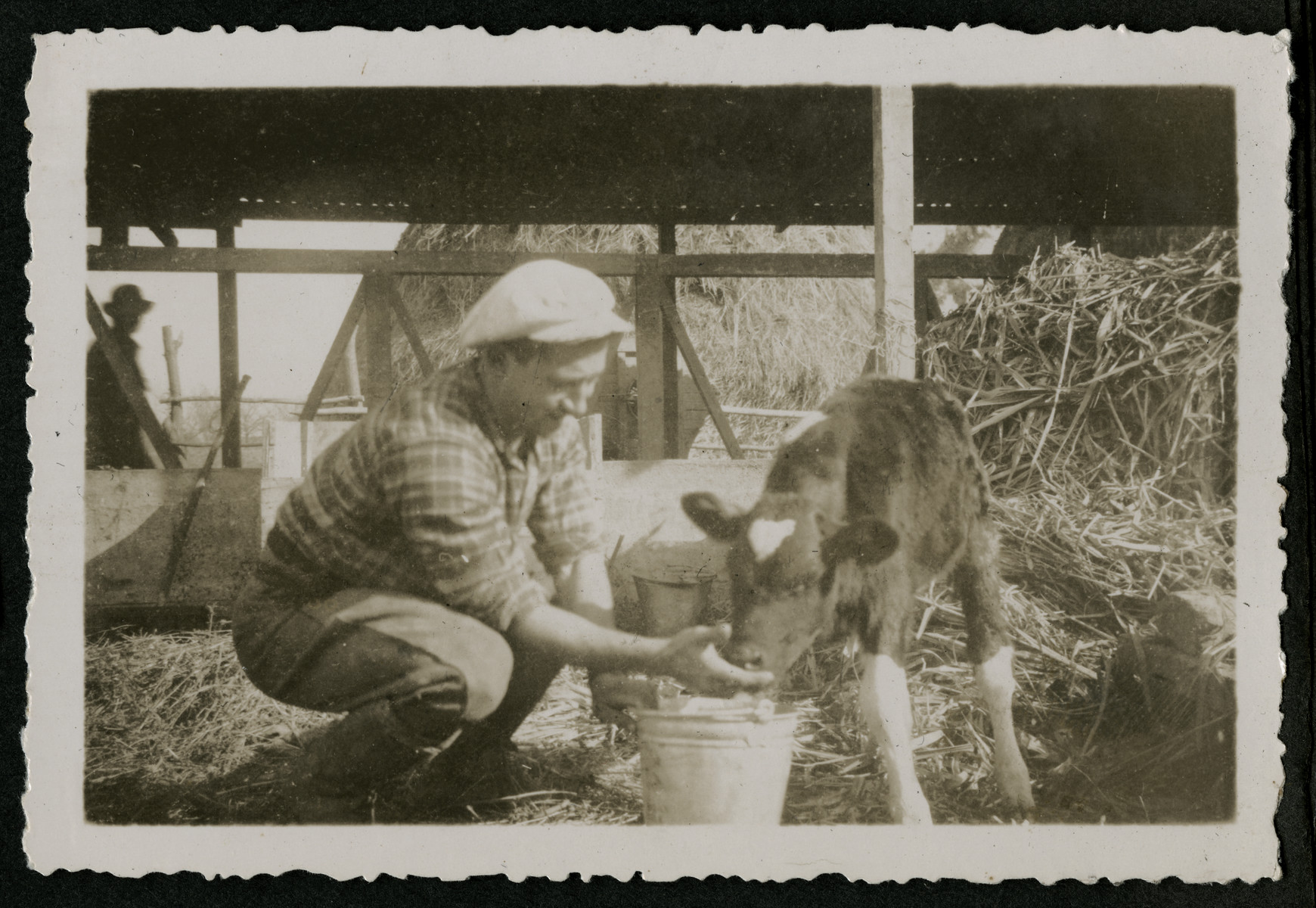 """Photograph from an album entitled, """"Hacshara Kidma Chile,""""  documenting life on a postwar Shomer Hatzair Zionist agricultural collective in Chile.  A young man feeds a calf from a bucket."""