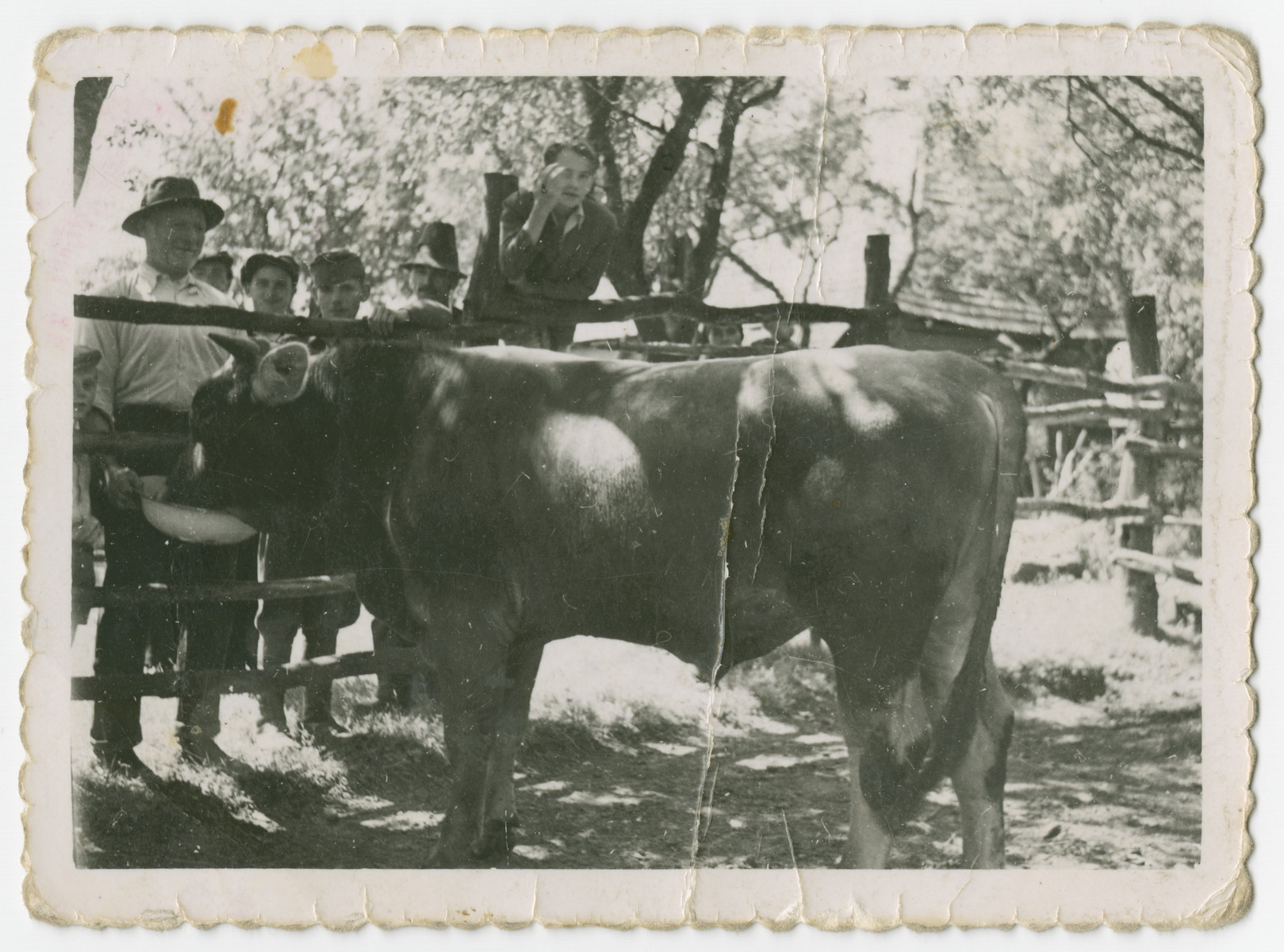 Eli Gruenberg feeds a bull on his farm.