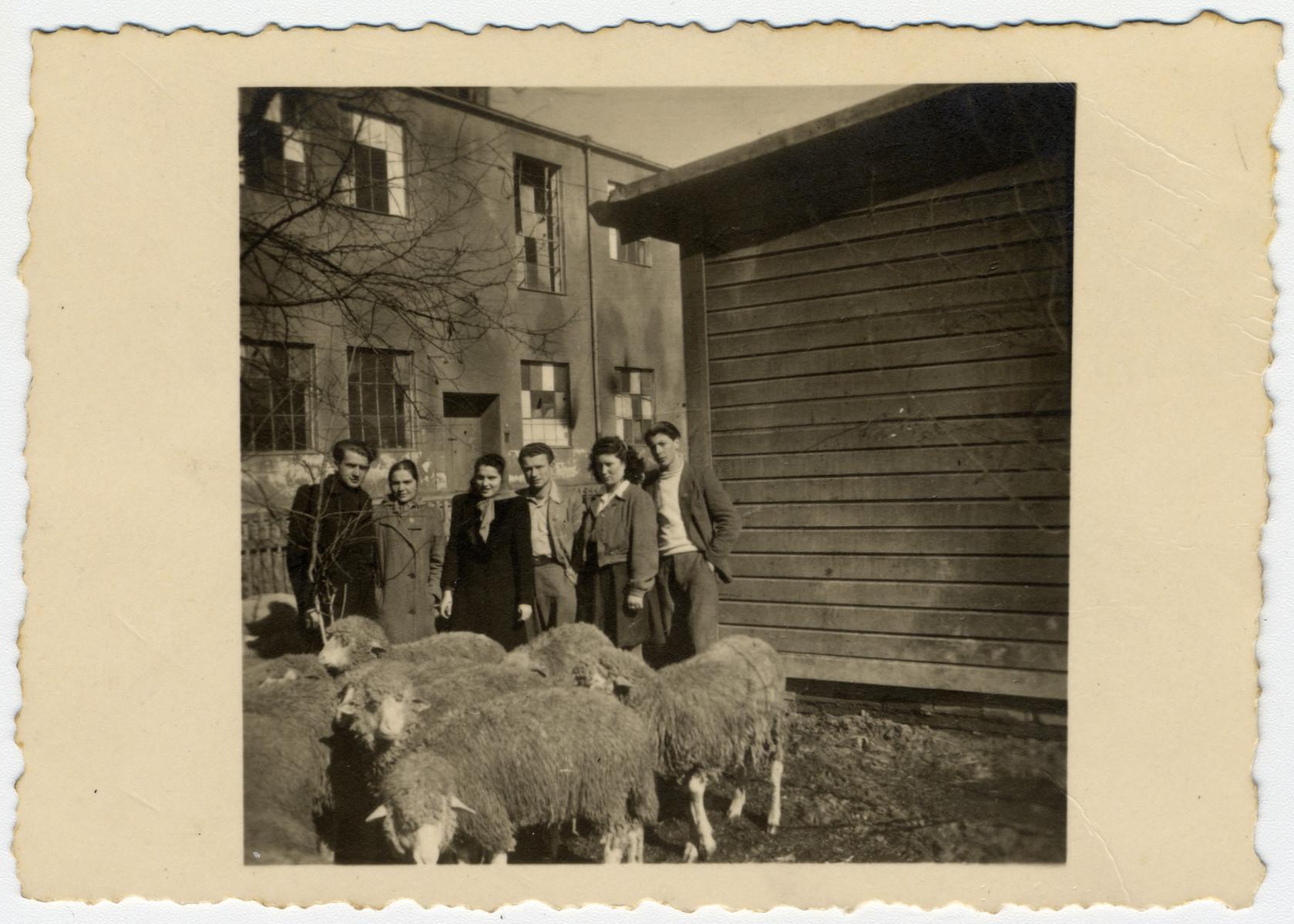 Members of a kibbutz hachshara pose behind a herd of sheep in the Eschwege displaced persons' camp.