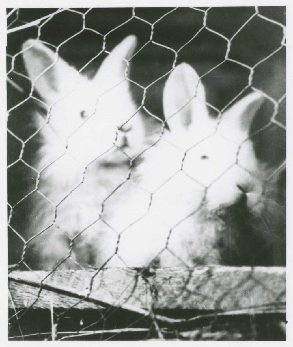 Rabbits raised by prisoners for their fur and meat in the Novaky labor camp.
