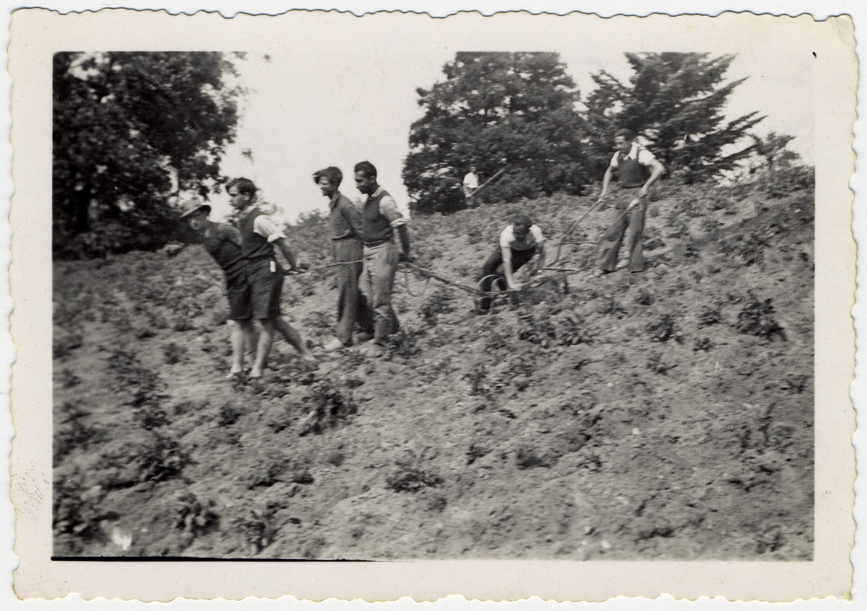 Young Jewish men pull a plow through a potato field at the La Ramee agricultural school.  The school's second director, Rappaport is pictured second from the right.  (He became director after the first director, Haroun Tazieff, left to join the resistance.)