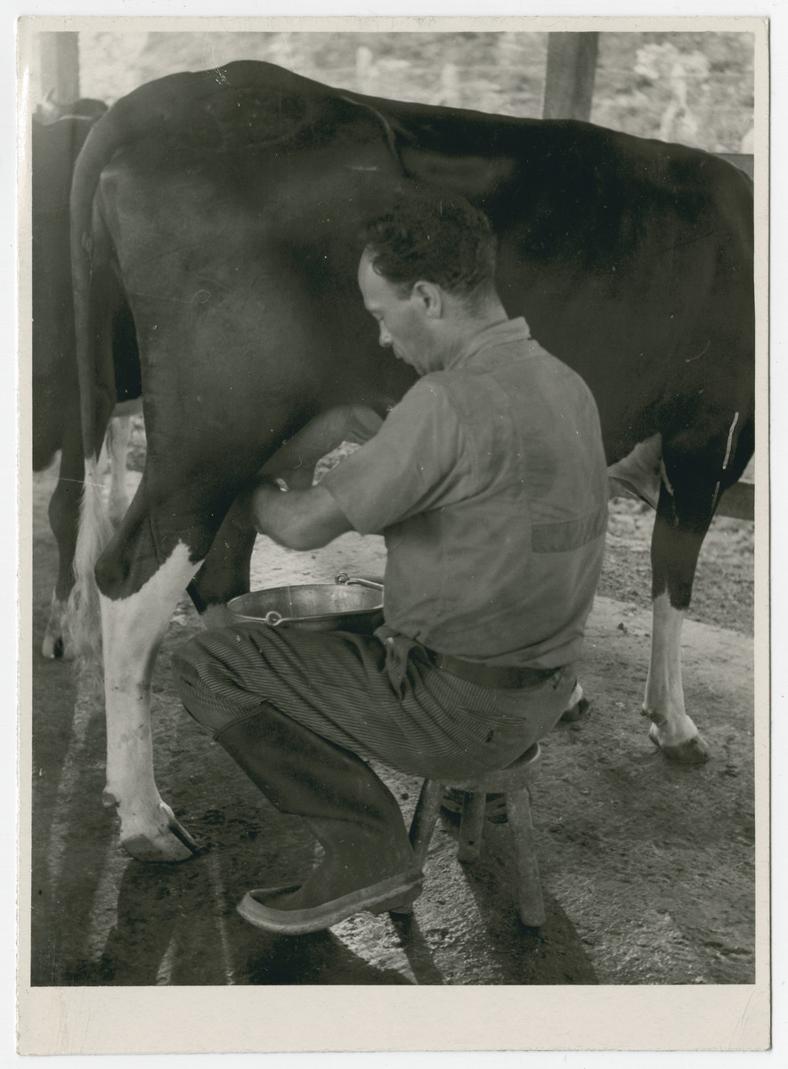 "Franz Blumenstein milkis a cow in Sosua, Dominican Republic.   The inscription on the back of the photograph reads, ""Dear Mr. Rich, Thanks to the fine spirit and work of the Quakers, I am converted from a business man into a farmer. Thankfully yours, Frank Blumenstein, former member of Finca ""Paso Seco.  Sosua, Puerto Plata, Dom Rep. October 29, 1944."""