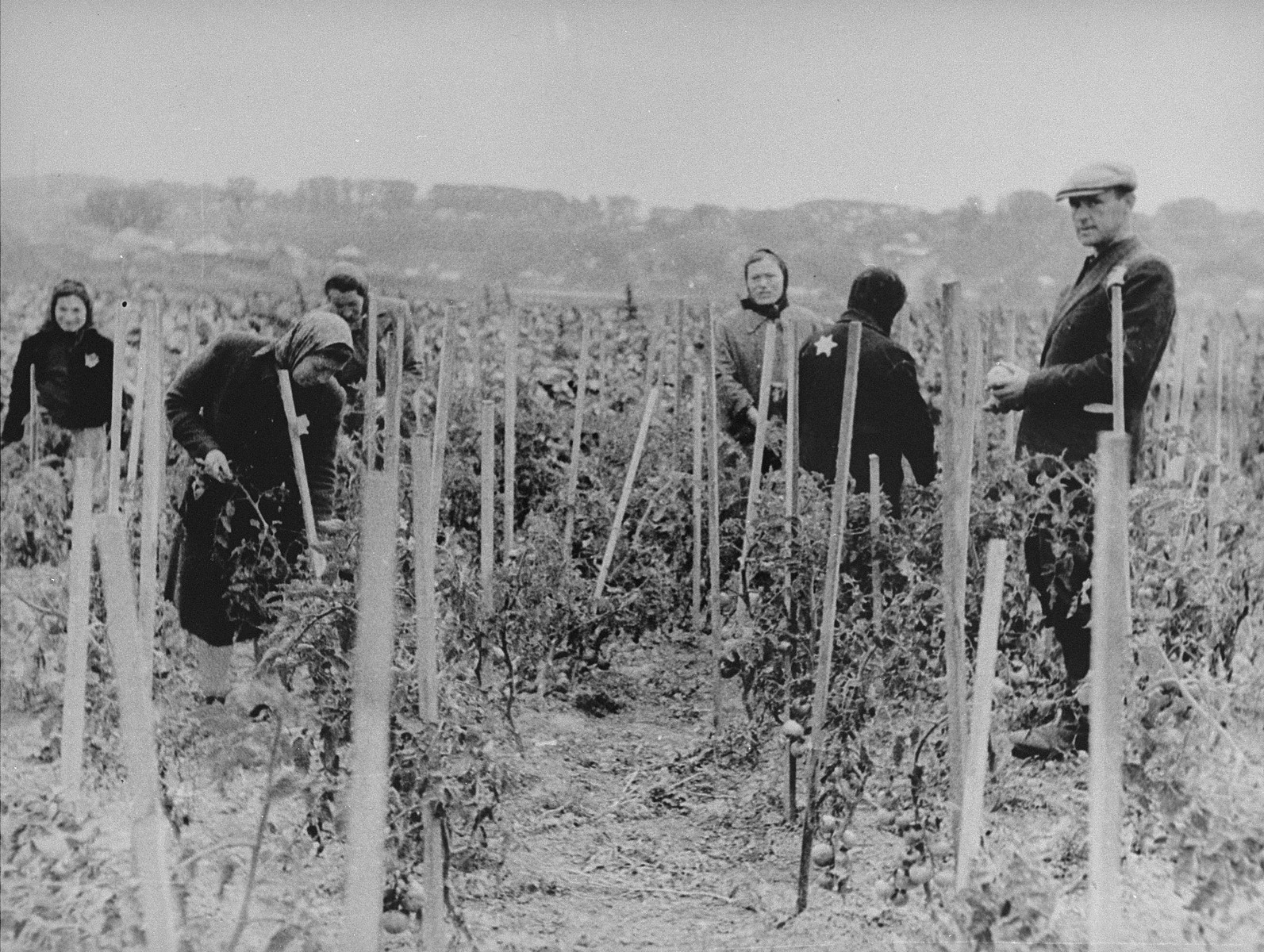 Jews cultivate a tomato patch in the Kovno ghetto.    Among those pictured is Mr. Lopiansky (standing at the right).