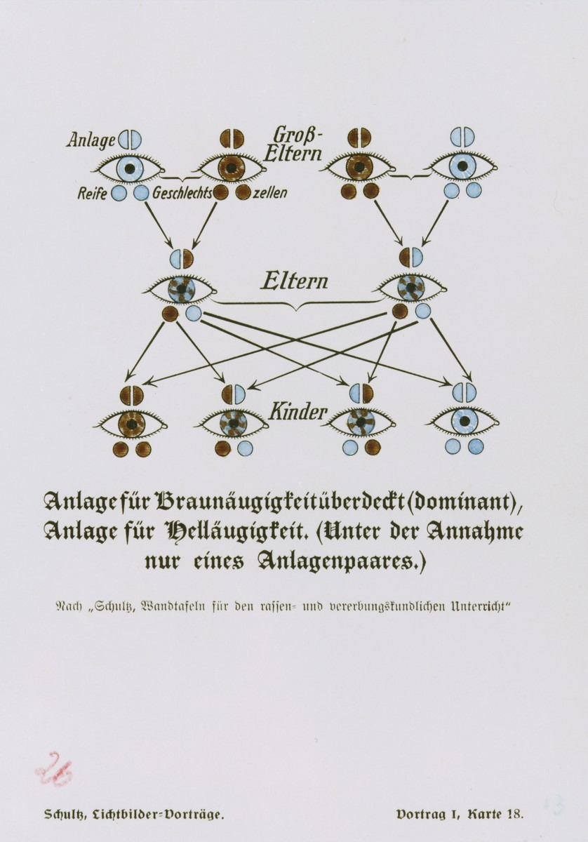 Chart illustrating the transmission over three generations of the genetic traits for blue and (dominant) brown eye coloring, taken from a set of slides produced to illustrate a lecture by Dr. Ludwig Arnold Schloesser, director of education for the SS Race and Settlement Office, on the foundations of the study of heredity. [Lecture 1, Card 18]