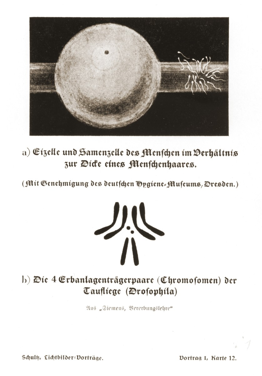 One slide from a lecture created by the SS on ethnology, heredity,and the cultivation of race  Illustration (top) comparing human sperm cells and ovum to the thickness of a human hair, and (bottom) the four chromosome pairs of the fruit fly (drosopila), taken from a set of slides produced to illustrate a lecture by Dr. Ludwig Arnold Schloesser, director of education for the SS Race and Settlement Office, on the foundations of the study of heredity. [Lecture 1, Card 12]