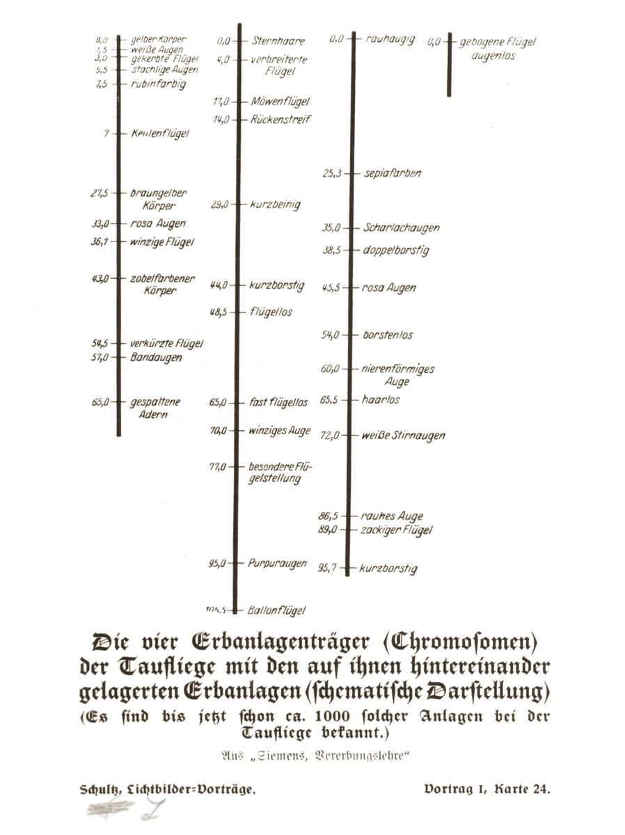 Schematic illustration of fruit fly chromosomes detailing the arrangement of genes for a variety of physical characteristics, taken from a set of slides produced to illustrate a lecture by Dr. Ludwig Arnold Schloesser, director of education for the SS Race and Settlement Office, on the foundations of the study of heredity. [Lecture 1, Card 24]