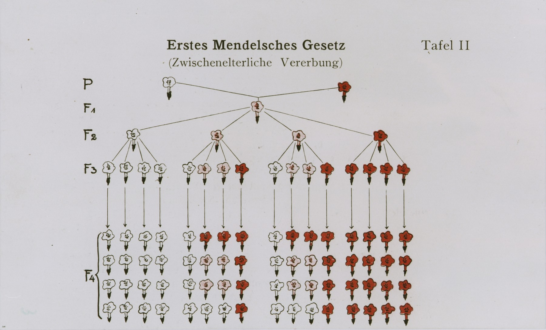 Chart illustrating Gregor Mendel's first law of heredity.