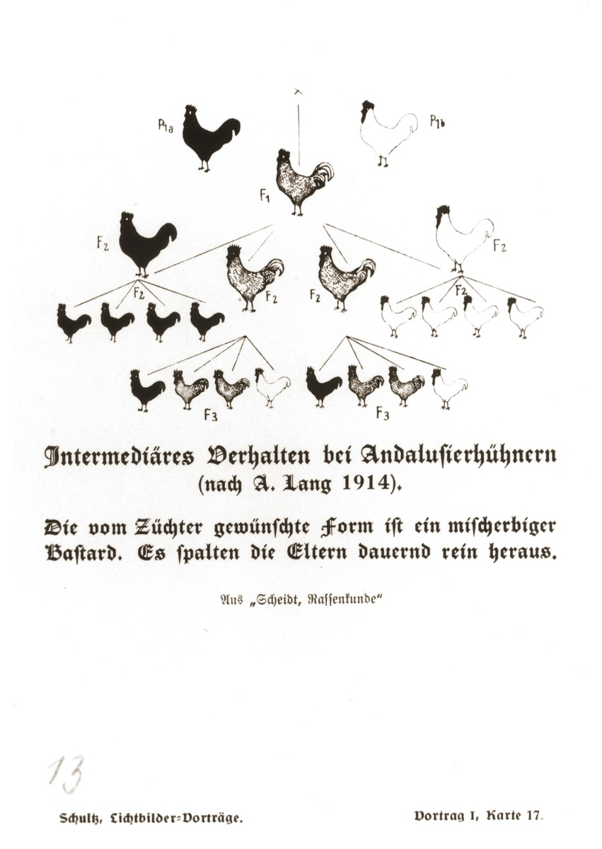 Chart illustrating the possible coloring of the offspring of purebred black, purebred white, and hybrid Andalusian chickens, taken from a set of slides produced to illustrate a lecture by Dr. Ludwig Arnold Schloesser, director of education for the SS Race and Settlement Office, on the foundations of the study of heredity. [Lecture 1, Card 17]