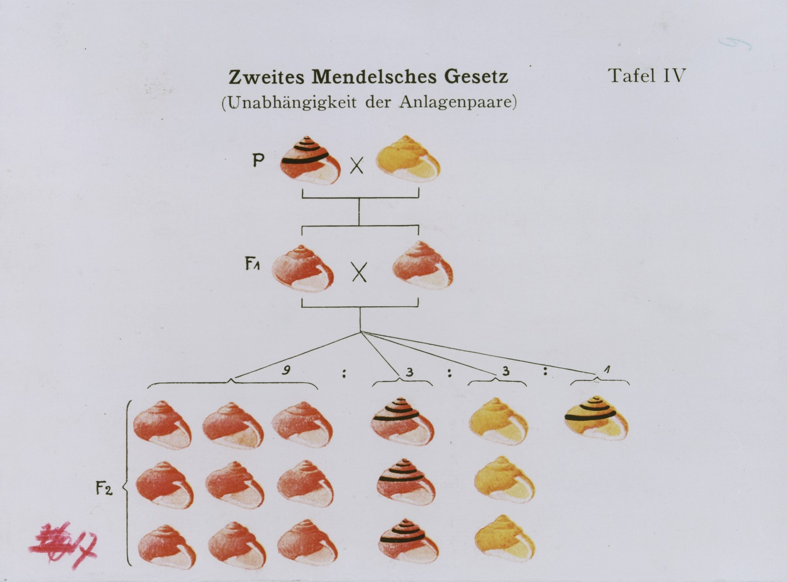 Chart illustrating the independence of ancestral traits and the transmission of recessive genes according to Gregor Mendel's second law of heredity.