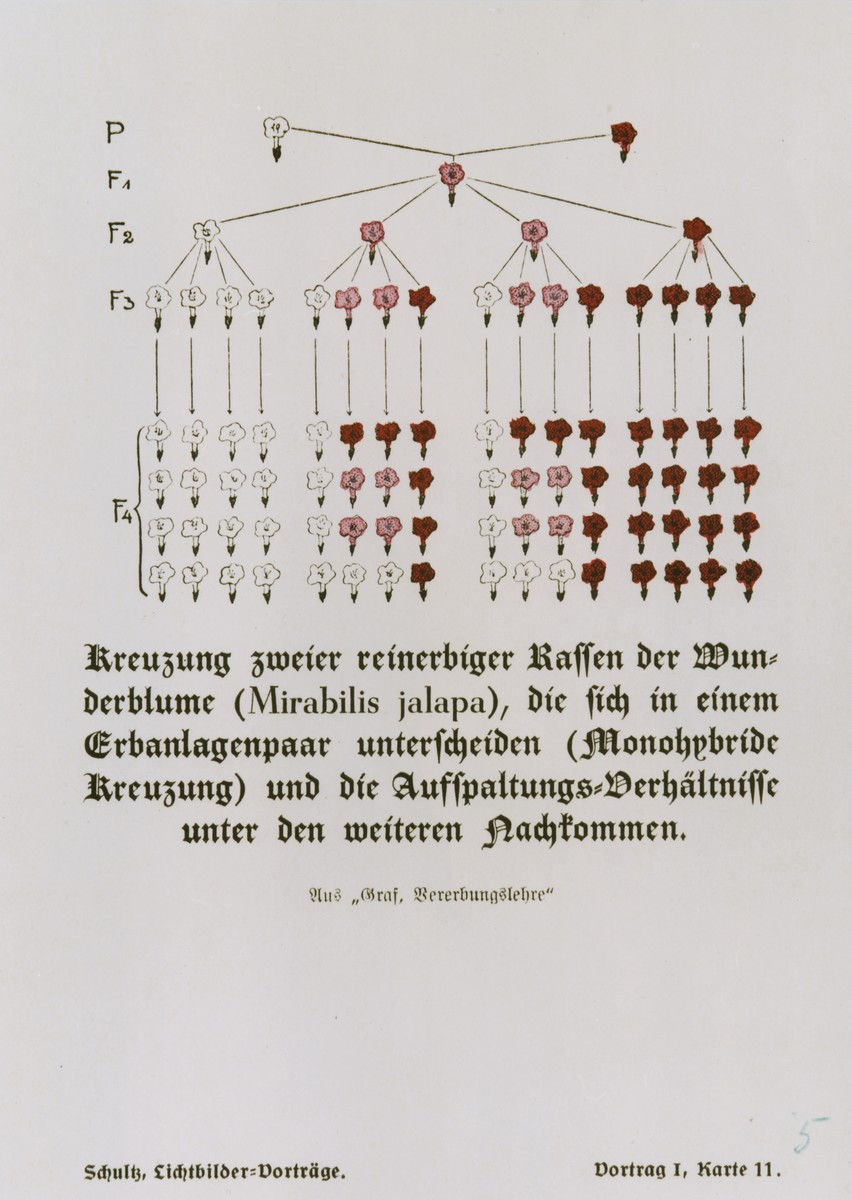 Chart illustrating the various possible offspring produced by the cross-breeding of two genetically pure strains of the mirabilis jalapa flower, taken from a set of slides produced to illustrate a lecture by Dr. Ludwig Arnold Schloesser, director of education for the SS Race and Settlement Office, on the foundations of the study of heredity.  [Lecture I, Card 11]