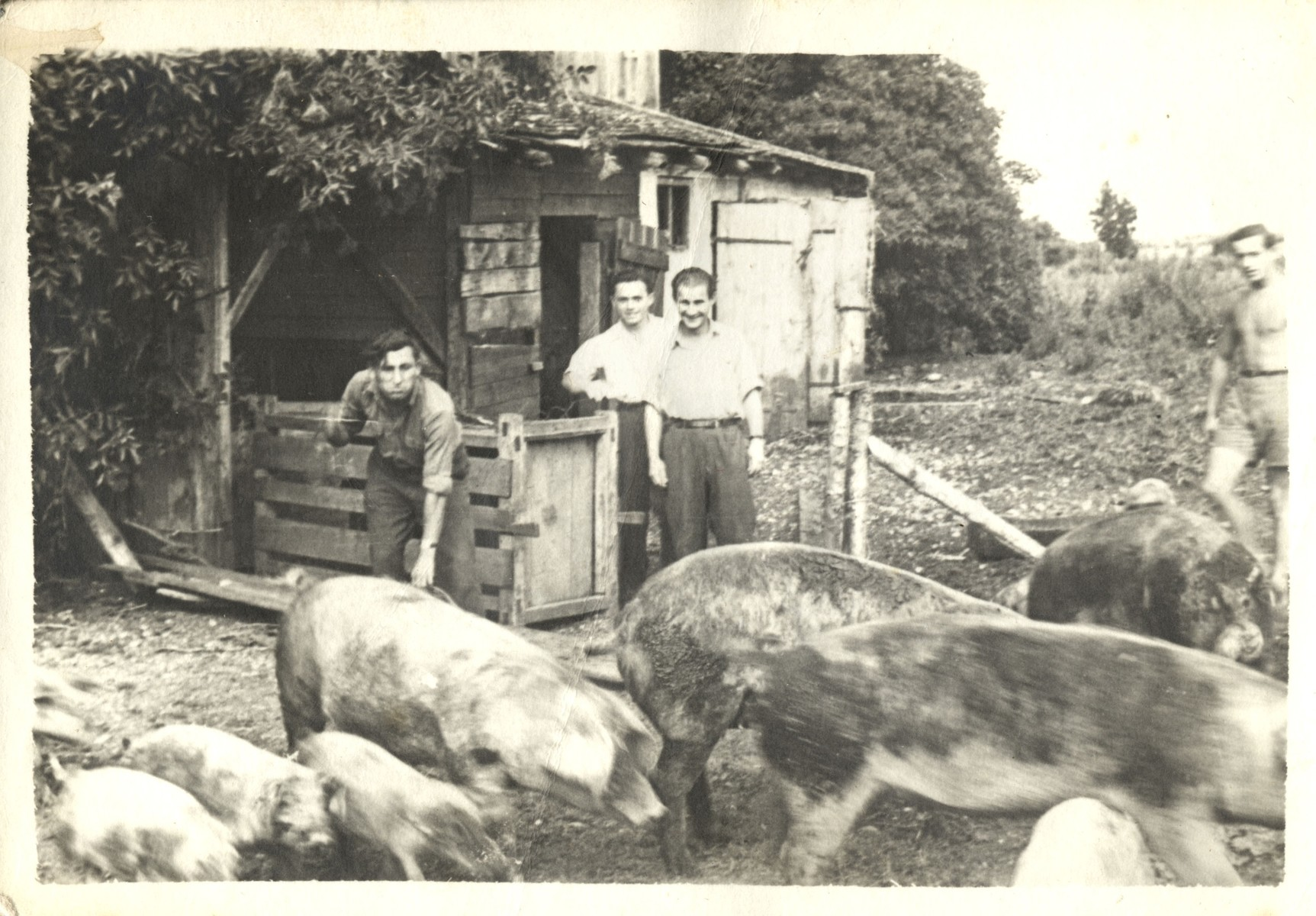 Jewish youth feed pigs on a kibbutz hachshara farm in Germany in preparation for their immigration to Palestine.