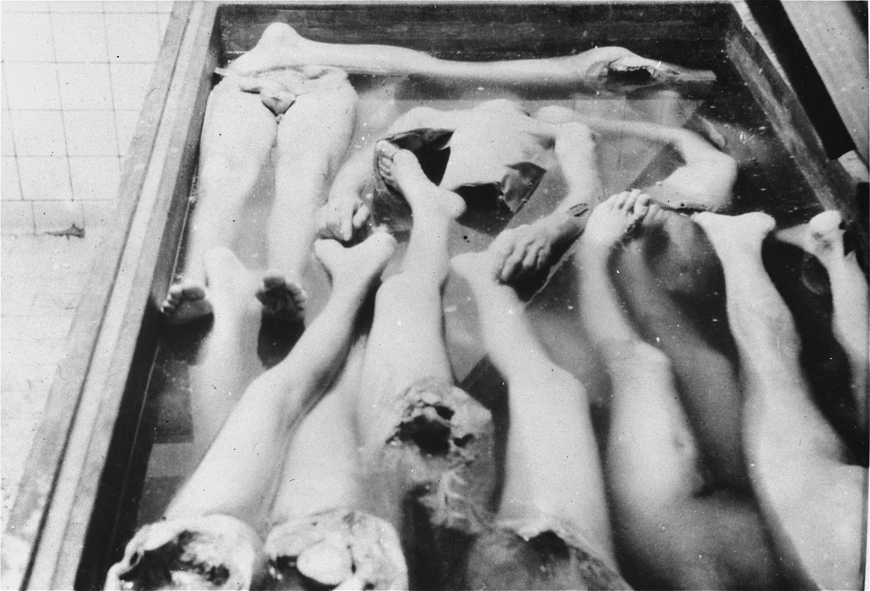 "Human body parts in a vat of alcohol at the Strasbourg University Anatomical Institute.  At the end of August,1943, eighty-six Jews, including 30 women, were gassed in Natzweiler-Struthof for the purpose of constructing a collection of skulls and skeletons to be kept at the Strasbourg University Institute of Anatomy, under the directorship of August Hirt.  The individuals were ""selected"" at Auschwitz for their special bone structure and transferred to Natzweiler, where SS Captain Josef Kramer, the commandant of the camp, oversaw the operation.  The corpses then remained in vats of alcohol for over a year, the project envisioned by Hirt having never been completed.  When Allied forces approached Strasbourg in November 1944, SS administrators were unaware that evidence of the crime still existed at the Institute, and only at the last minute ordered the bodies destroyed.  This operation failed, however, and 16-17 of the bodies fell into Allied hands. [Klarsfeld, S., ed. The Struthof Album, 1985]"