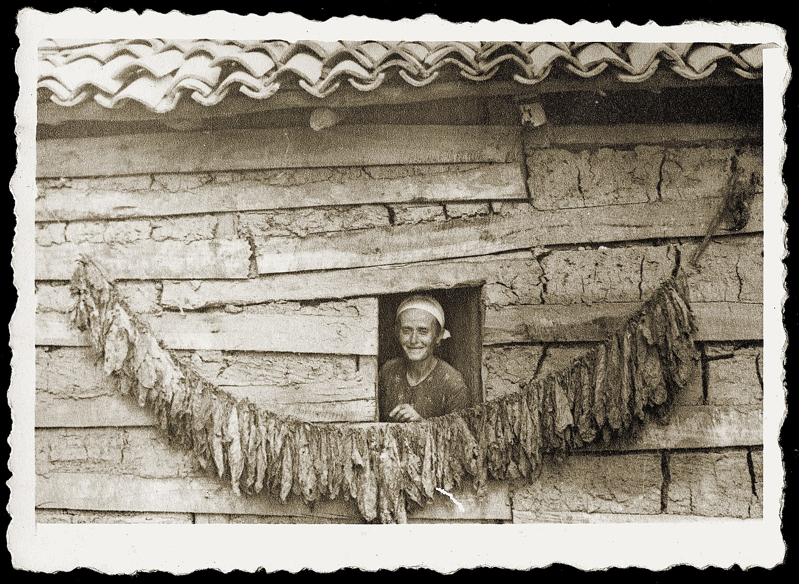 Fatima Veseli dries tobacco leaves outside her home in the mountain village of Kruja.  Fatima is the mother of Refik Veseli, who sheltered the Mandil family in the last year of the war.