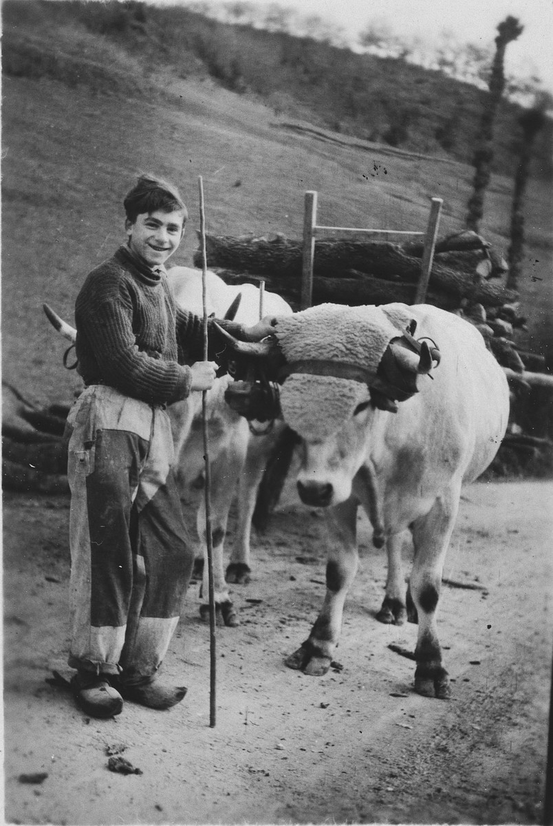 "Georges Herz leads a pair of oxen on the grounds of the Chateau La Hille.  The original caption reads ""Georges, the mailman -- spring of 1944""."