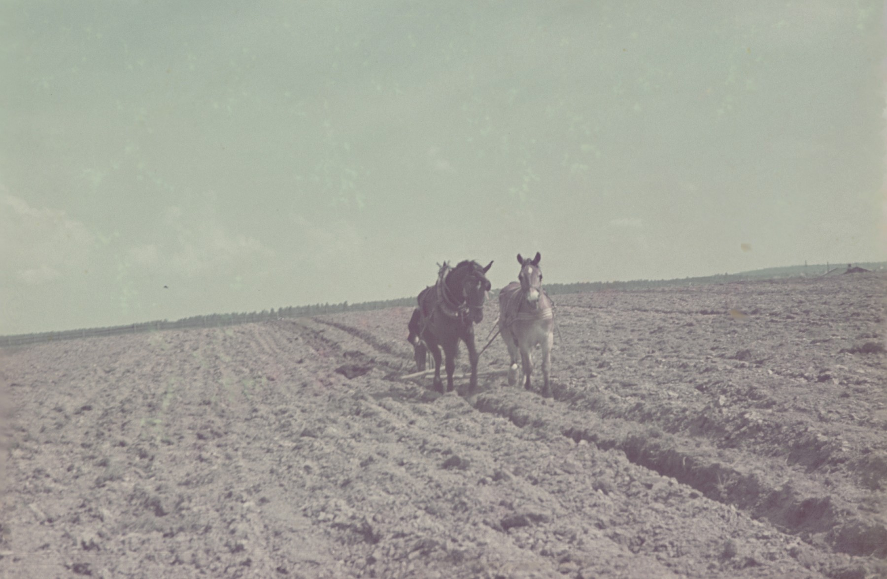 A farmer plowing a field near or in the Lodz ghetto.