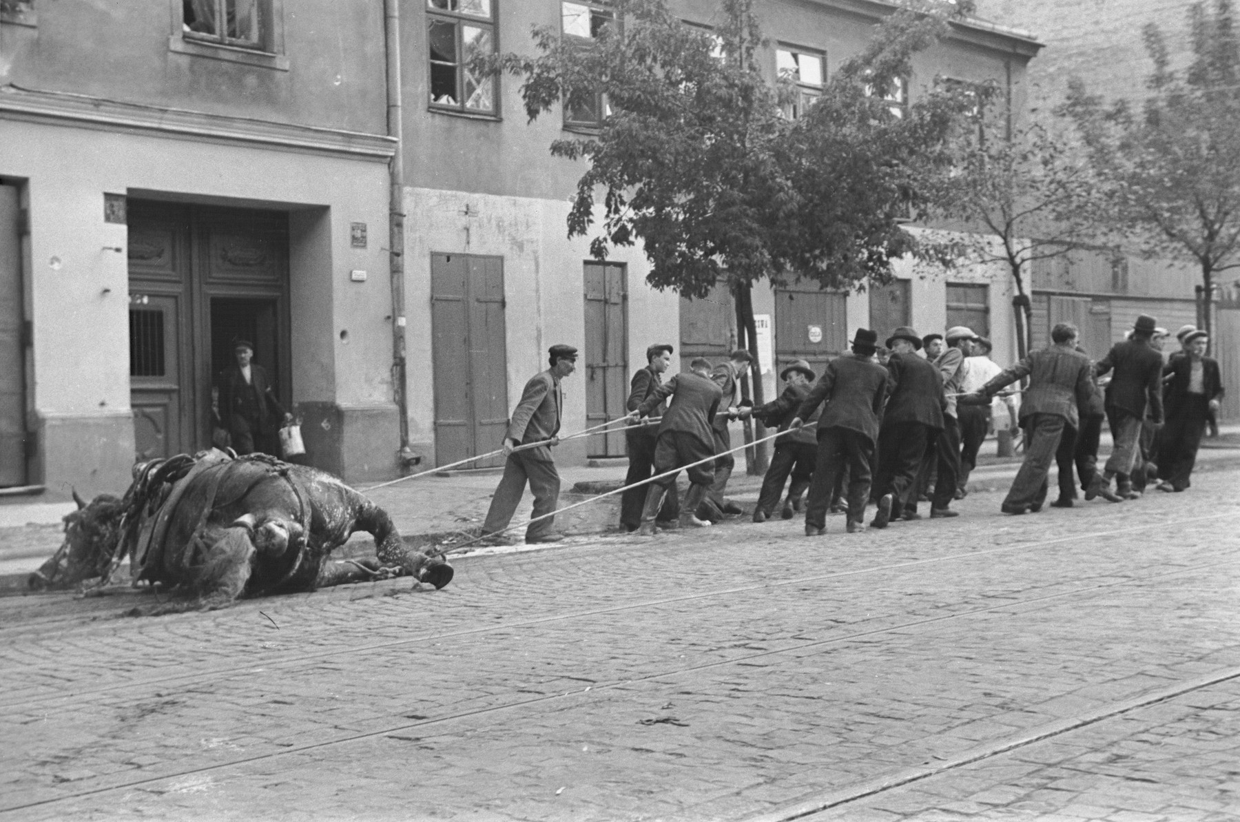 A group of Polish men drag the carcass of a horse through the streets of Warsaw during the siege of the capital.
