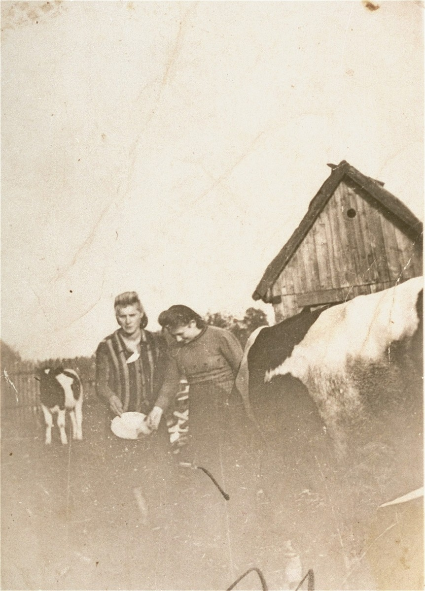Irka Cymerman (right), a Polish Jew in hiding, feeds the cows on a farm in Sadolesie (near Malkinia).  The peasant family was not aware that Irka was Jewish.