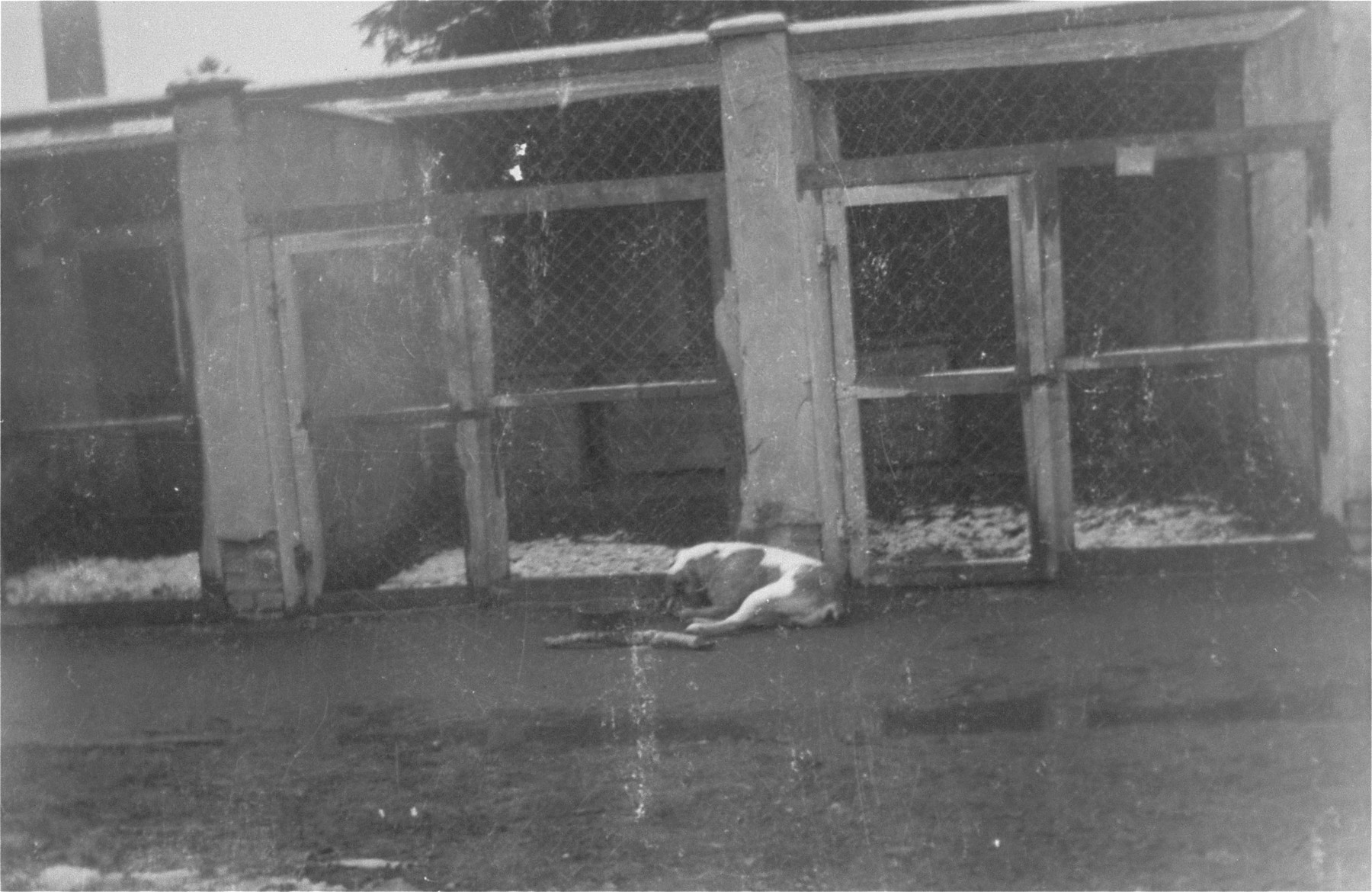 An SS guard dog lies in front of the kennel at Dachau.