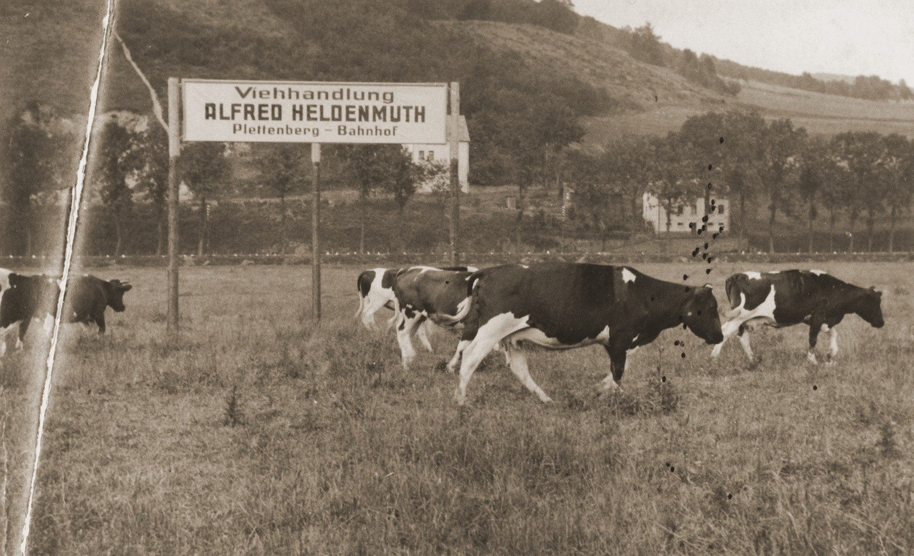 Cows belonging to Alfred Heldenmuth graze in a field beneath a sign advertising his cattle business in Plettenberg.
