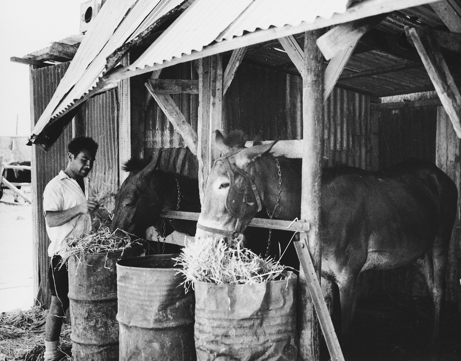 A new immigrant feeds the horses in Tal Shachar.