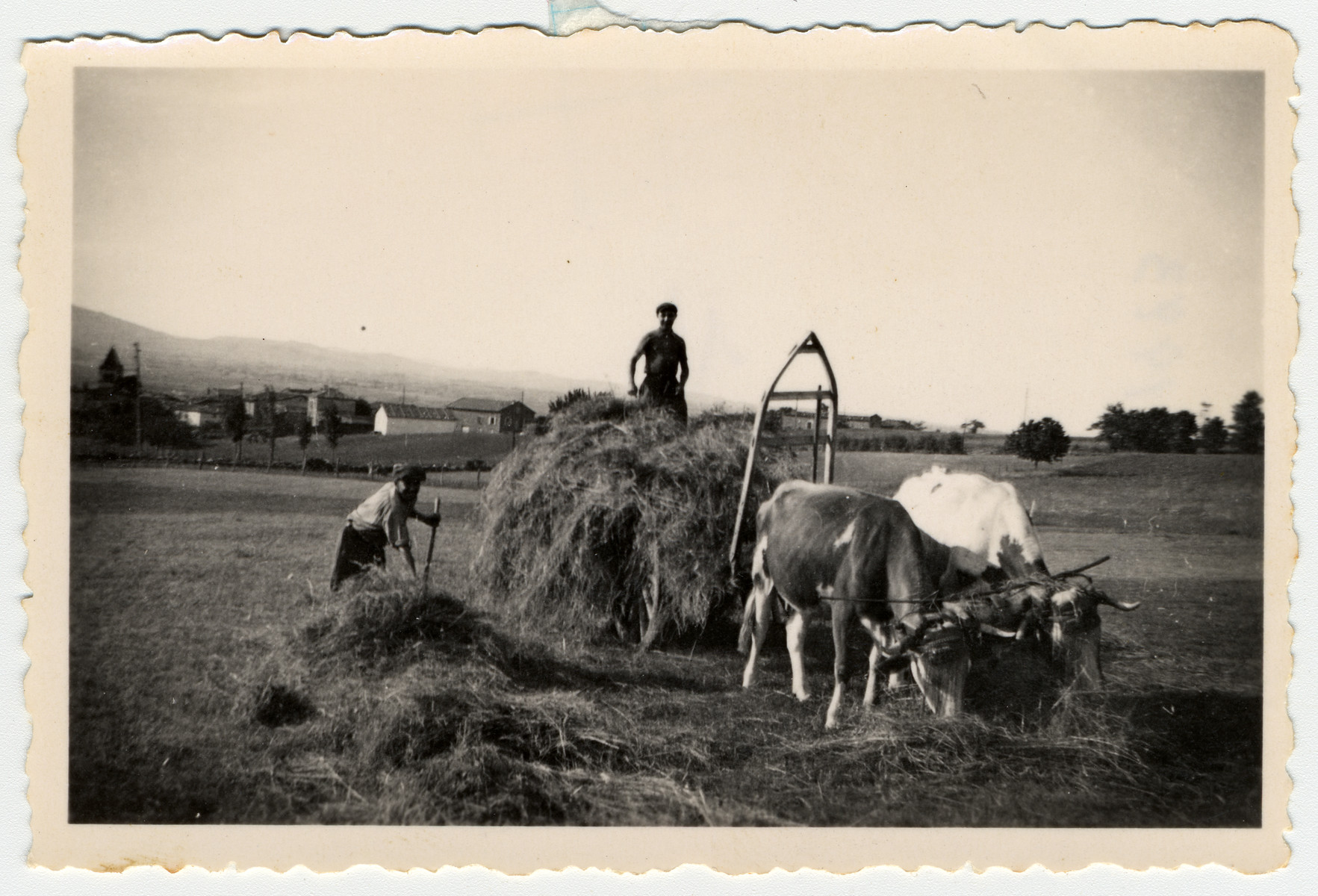 Two youth work on a farm in Treve, pitching hay onto a wagon drawn by cattle.  Pictured on the left is Herbert Karliner (?).