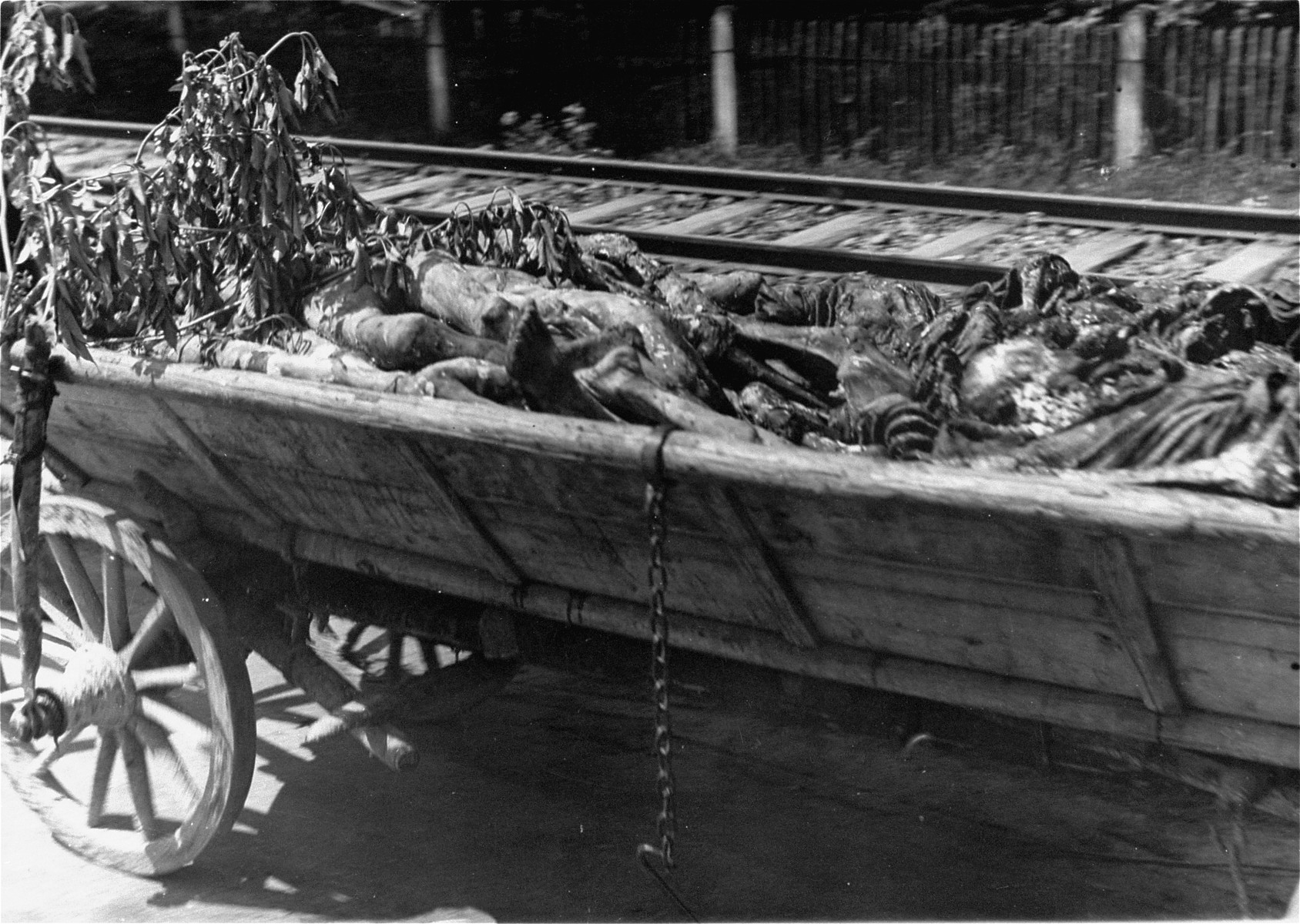 Corpses from the Dachau concentration camp on route to burial in a cart levied from local farmers.  Allied authorities required local farmers to drive their loaded carts through the town of Dachau as an education for Dachau residents.
