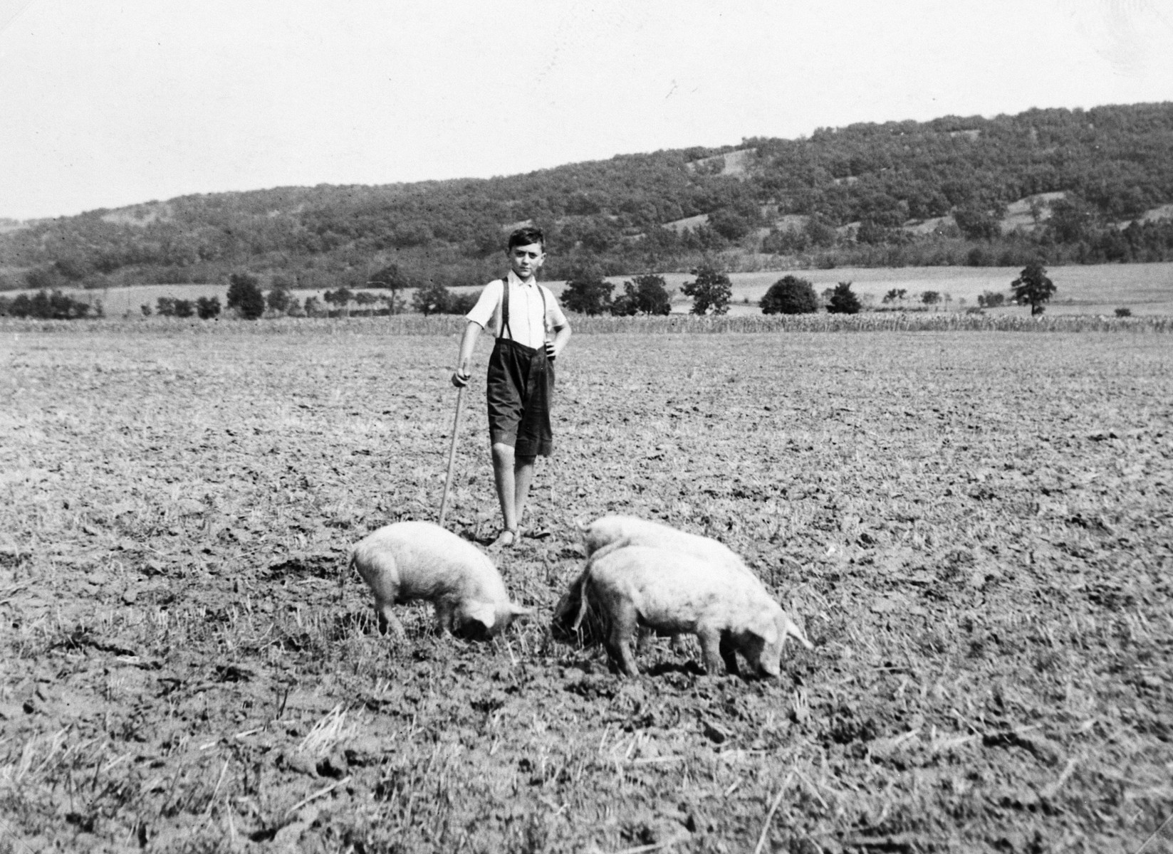 A Hungarian Jewish boy tends pigs grazing in a field.  Pictured is Ivan Pal.