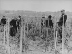 Jews cultivate a tomato patch in the Kovno ghetto.