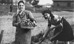 Two women collect potatoes on an agricultural plot in the Kovno ghetto.