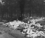 Corpses piled in a wooded area near Bergen-Belsen.