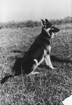 "A dog belonging to SS officer Karl Hoecker.  The original caption reads ""Mein Schaeferhund ,Favorit'"" [My Shephard dog ,Favorit']."